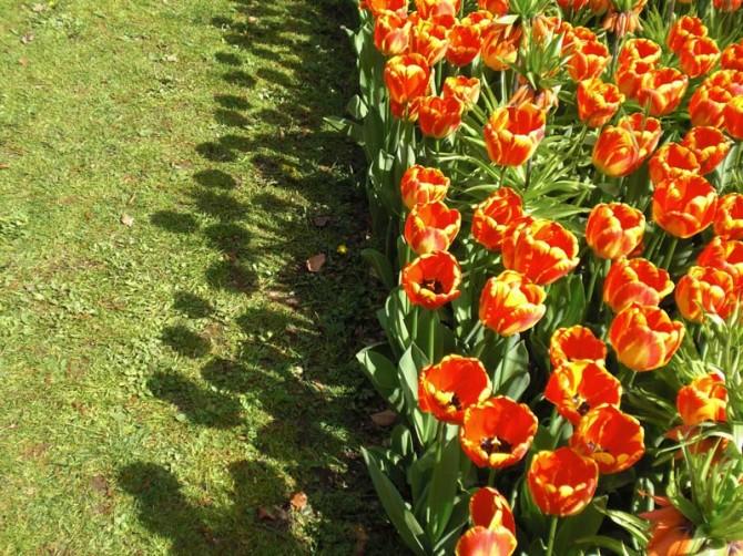 Aiuole di tulipani foto e consigli su come piantarli in giardino - Fiori di giardino foto ...