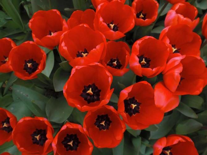 Aiuole di tulipani foto e consigli su come piantarli in - Immagini di aiuole da giardino ...