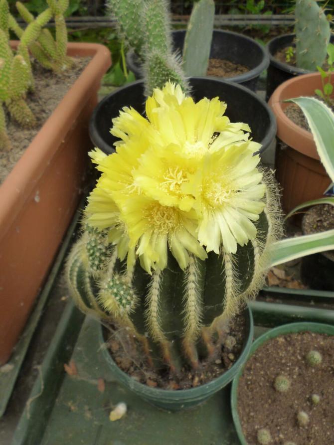 Pianta da appartamento con fiori gialli idee creative e for Vendita piante grasse on line