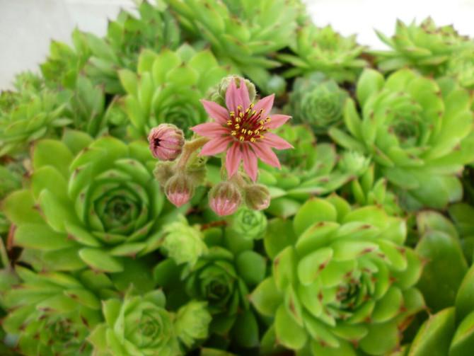 I fiori e le piante pi belle con foto e descrizione for Rosa pianta
