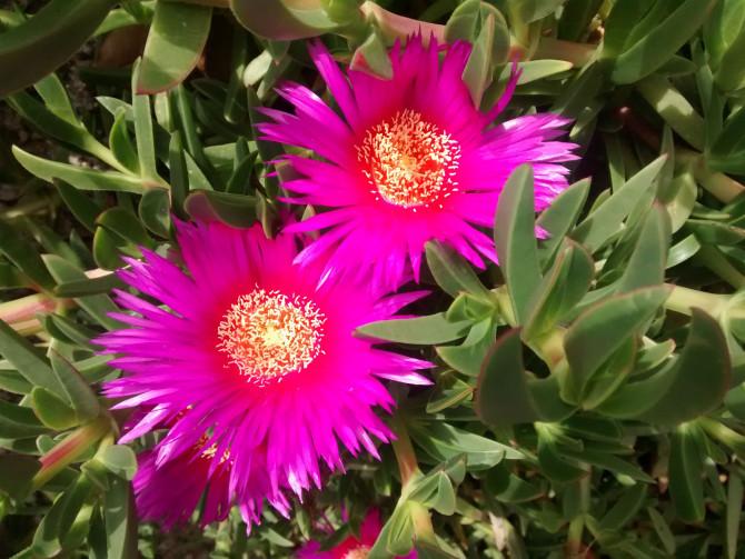 due fiori fucsia pianta succulenta